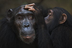 Eastern Chimpanzee (Pan troglodytes schweinfurthii) forty year old female, named Sandi, being groomed by her seven year old juvenile male, named Siri, Gombe National Park, Tanzania  -  Fiona Rogers