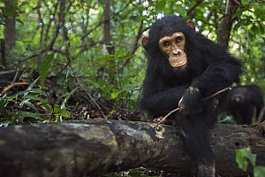 Eastern Chimpanzee (Pan troglodytes schweinfurthii) four year old infant male, named Gizmo, foraging for insects in log, Gombe National Park, Tanzania - Anup Shah