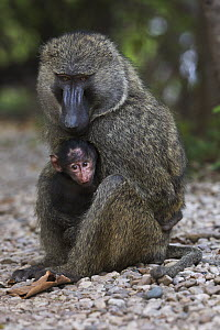 Olive Baboon (Papio anubis) male with three month old young, Gombe National Park, Tanzania  -  Anup Shah