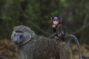 Olive Baboon (Papio anubis) male carrying three month old young, Gombe National Park, Tanzania  -  Anup Shah
