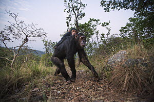Eastern Chimpanzee (Pan troglodytes schweinfurthii) sixteen year old female, named Golden, carrying her three year old infant daughter, named Glamour, Gombe National Park, Tanzania  -  Anup Shah