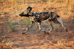 African Wild Dog (Lycaon pictus) running, Tswalu Game Reserve, South Africa  -  Juergen & Christine Sohns
