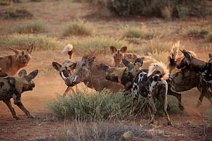 African Wild Dog (Lycaon pictus) group surrounding Cape Warthog (Phacochoerus aethiopicus), Tswalu Game Reserve, South Africa  -  Juergen & Christine Sohns