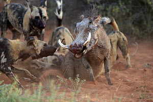 African Wild Dog (Lycaon pictus) group attacking Cape Warthog (Phacochoerus aethiopicus), Tswalu Game Reserve, South Africa  -  Juergen & Christine Sohns