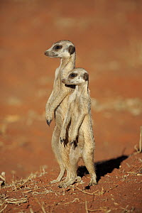Meerkat (Suricata suricatta) pair on alert, Tswalu Game Reserve, South Africa  -  Juergen & Christine Sohns