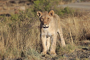 African Lion (Panthera leo) sub-adult female, Mountain Zebra National Park, South Africa  -  Juergen & Christine Sohns