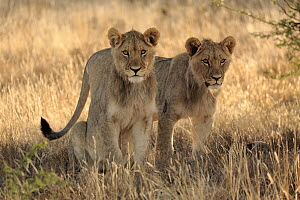 African Lion (Panthera leo) sub-adult males, Mountain Zebra National Park, South Africa  -  Juergen & Christine Sohns