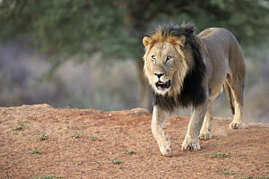 African Lion (Panthera leo) male, Tswalu Game Reserve, South Africa  -  Juergen & Christine Sohns