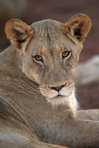African Lion (Panthera leo) female, Tswalu Game Reserve, South Africa  -  Juergen & Christine Sohns