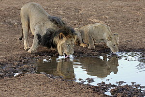 African Lion (Panthera leo) male and female drinking at waterhole, Tswalu Game Reserve, South Africa  -  Juergen & Christine Sohns