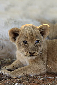 African Lion (Panthera leo) six week old cub, Tswalu Game Reserve, South Africa  -  Juergen & Christine Sohns