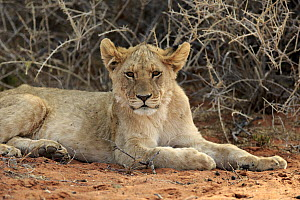 African Lion (Panthera leo) six month old cub, Tswalu Game Reserve, South Africa  -  Juergen & Christine Sohns