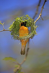 Masked-Weaver (Ploceus velatus) male weaving nest, Tswalu Game Reserve, South Africa  -  Juergen & Christine Sohns