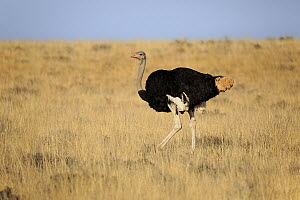 Ostrich (Struthio camelus) male, Mountain Zebra National Park, South Africa  -  Juergen & Christine Sohns