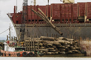 Logs being loaded on ships bound for China, Rajang River, Sarawak, Borneo, Malaysia  -  Gerry Ellis