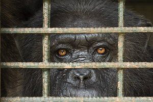 Chimpanzee (Pan troglodytes) in cage, Limbe Wildlife Centre, Cameroon  -  Gerry Ellis