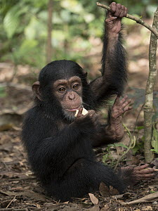 Chimpanzee (Pan troglodytes) 3 month old orphan Daphne feeding, Ape Action Africa, Mefou Primate Sanctuary, Cameroon  -  Gerry Ellis