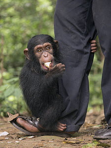 Chimpanzee (Pan troglodytes) orphan clinging to keeper while feeding, Mefou Primate Sanctuary, Cameroon  -  Gerry Ellis