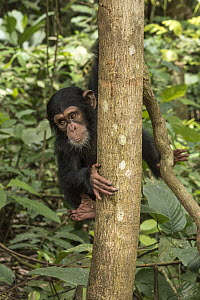 Chimpanzee (Pan troglodytes) orphan Daphne in tree, Ape Action Africa, Mefou Primate Sanctuary, Cameroon  -  Gerry Ellis