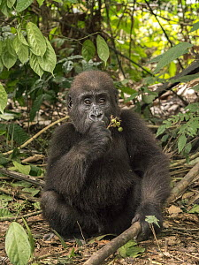 Western Lowland Gorilla (Gorilla gorilla gorilla) orphan feeding, Ape Action Africa, Mefou Primate Sanctuary, Cameroon  -  Gerry Ellis