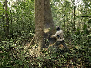 Rainforest tree being logged to clear area for oil palm plantation, western Cameroon  -  Gerry Ellis