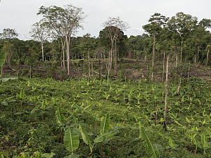 Tropical rainforest cleared by local famer, Ebo Wildlife Reserve, Cameroon  -  Gerry Ellis