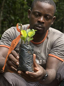 Sarcophrynium (Sarcophrynium prionogonium) plant used in climate research, held by conservationist, Abwe Egong, Ebo Wildlife Reserve, Cameroon  -  Gerry Ellis
