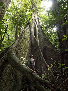Conservationist, Abwe Egong, in giant rainforest buttress root, Ebo Wildlife Reserve, Cameroon  -  Gerry Ellis