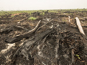 Recently cleared and burnt tropical rainforest to convert area for oil palm plantation, West Kalimantan, Borneo, Indonesia  -  Gerry Ellis