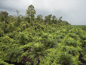 African Oil Palm (Elaeis guineensis) plantantion next to rainforest, West Kalimantan, Borneo, Indonesia  -  Gerry Ellis