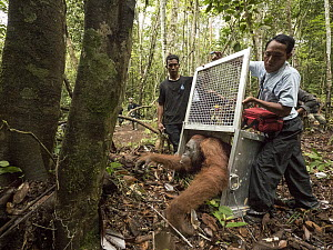 Orangutan (Pongo pygmaeus) male being released after being rescued from 2015 fires, Gunung Palung National Park, West Kalimantan, Borneo, Indonesia  -  Gerry Ellis