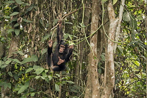 Chimpanzee (Pan troglodytes) orphan Daphne playing in trees, Ape Action Africa, Mefou Primate Sanctuary, Cameroon  -  Gerry Ellis