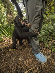 Chimpanzee (Pan troglodytes) orphans Daphne(front) and Larry clinging to keepers legs, Ape Action Africa, Mefou Primate Sanctuary, Cameroon  -  Gerry Ellis