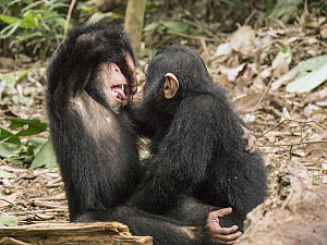 Chimpanzee (Pan troglodytes) orphans Daphne and Larry playing, Ape Action AFrica, Mefou Primate Sanctuary, Cameroon  -  Gerry Ellis