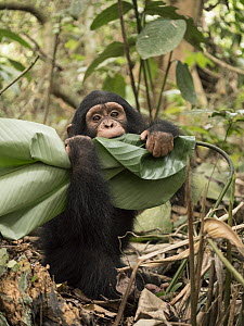 Chimpanzee (Pan troglodytes) orphan playing with leaf, Ape Action Africa, Mefou Primate Sanctuary, Cameroon  -  Gerry Ellis