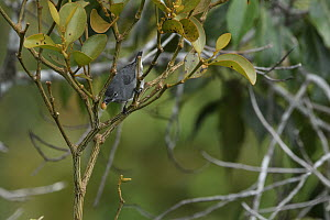 Spectacled Flowerpecker (Dicaeum dayakorum), first new endemic bird discovered in Borneo in over one hundred years, feeding, Borneo, Brunei - Ch'ien Lee