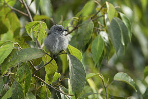 Spectacled Flowerpecker (Dicaeum dayakorum), first new endemic bird discovered in Borneo in over one hundred years, Borneo, Brunei - Ch'ien Lee