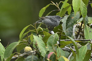 Spectacled Flowerpecker (Dicaeum dayakorum), first new endemic bird discovered in Borneo in over one hundred years, defecating, Borneo, Brunei - Ch'ien Lee