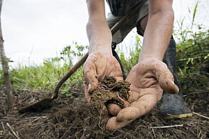Conservationist holding soil with earthworms during replanting in pasture for tropical rainforest regeneration, Golfito, Costa Rica  -  Cyril Ruoso