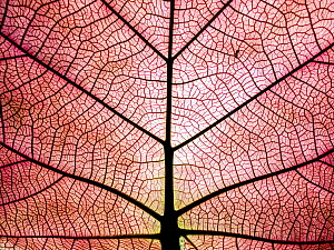 Leaf showing rib and vein patterns, Caravelle Peninsula, Martinique, Caribbean  -  Scott Leslie
