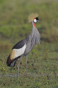 Grey Crowned Crane (Balearica regulorum), Serengeti National Park, Tanzania  -  Winfried Wisniewski