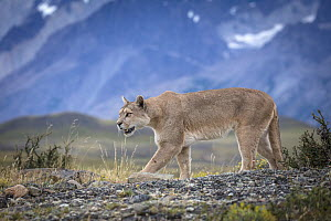Mountain Lion (Puma concolor), Torres del Paine National Park, Chile  -  Benjamin Olson