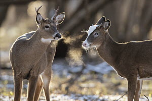 White-tailed Deer (Odocoileus virginianus) bucks, including piebald male, Minnesota  -  Benjamin Olson