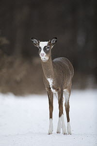 White-tailed Deer (Odocoileus virginianus) piebald buck in winter, Minnesota - Benjamin Olson