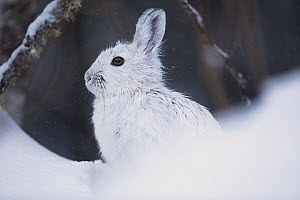 Snowshoe Hare (Lepus americanus) in winter, Superior National Forest, Minnesota  -  Benjamin Olson