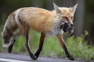 Red Fox (Vulpes vulpes) carrying rodents, bird, and egg back to den, Superior National Forest, Minnesota  -  Benjamin Olson
