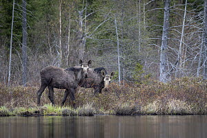 Moose (Alces alces andersoni) yearling twins, Superior National Forest, Minnesota  -  Benjamin Olson