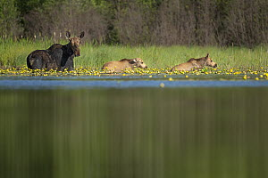 Moose (Alces alces andersoni) mother and twins in pond, Superior National Forest, Minnesota  -  Benjamin Olson