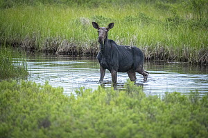 Moose (Alces alces andersoni)female in river, Seagull River, Superior National Forest, Minnesota  -  Benjamin Olson