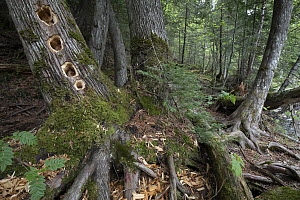 Northern White Cedar (Thuja occidentalis) tree with Pileated Woodpecker (Dryocopus pileatus) holes, Superior National Forest, Minnesota  -  Benjamin Olson